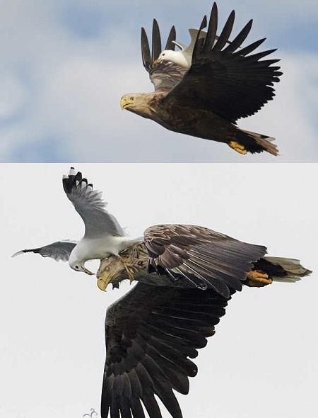 عکس حمله عقاب